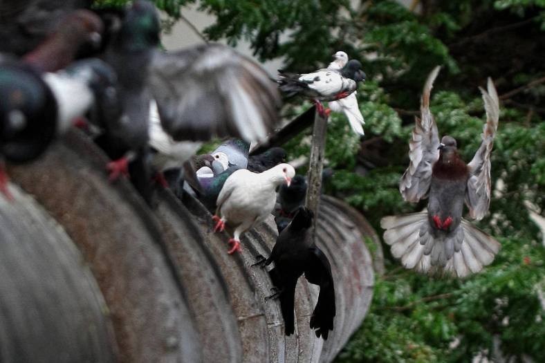 Pigeons waiting for food from the public in Kuala Lumpur on October 23, 2013. Pigeons and doves constitute the bird clade Columbidae, that includes some 310 species. They are stout-bodied birds with short necks, and have short, slender bills with fleshy ceres. Doves feed on seeds, fruits, and plants. Photo Adib Rawi Yahya